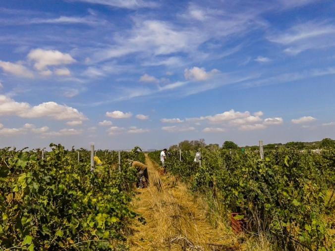 son-alegre-grape-harvest-2