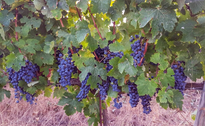 son-alegre-grape-harvest-5