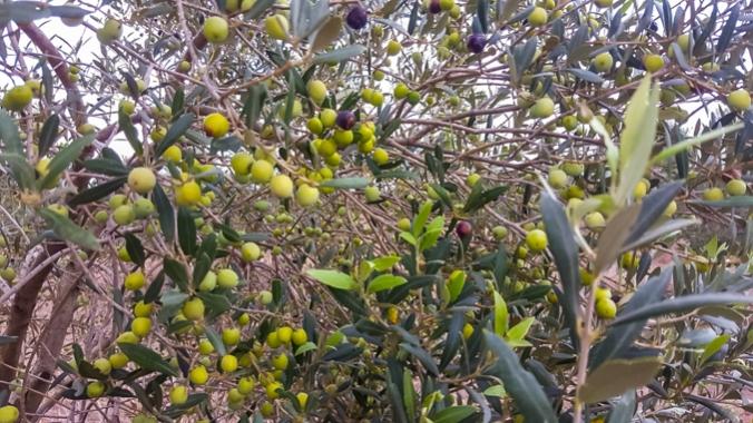 son-alegre-olives-3