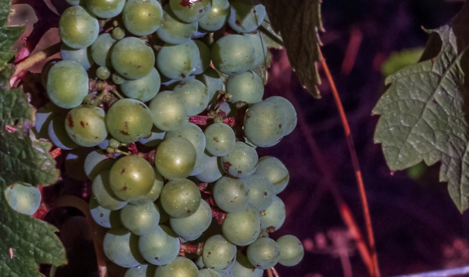 Son Alegre white grapes 1